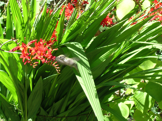 Attract hummingbirds with flowering plants